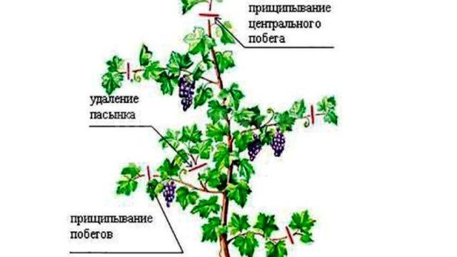 pasynkovanie-vinograda-v-iyule