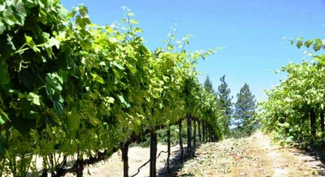 podvyazka-vinogradnoj-lozy